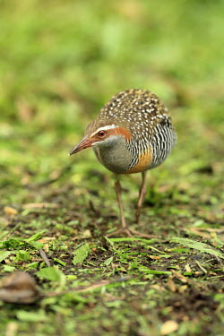 Buff-banded rail walking along ground Birds,bird,aves,pattern,patterned,close-up,walking,walk,action,rails,rallidae,gruiformes,Gruiformes,Rails and Cranes,Rallidae,Coots, Rails, Waterhens,Chordates,Chordata,Aves,Least Concern,Agricultural