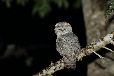 Tawny frogmouth Common frogmouth,frogmouths,bird,birds,aves,Podargidae,Caprimulgiformes,eyes,strange,weird,perched,perching