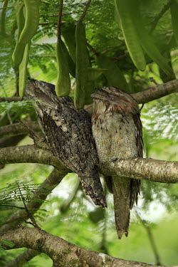 Tawny frogmouth pair Common frogmouth,frogmouths,bird,birds,aves,Podargidae,Caprimulgiformes,strange,weird,perched,perching,pair