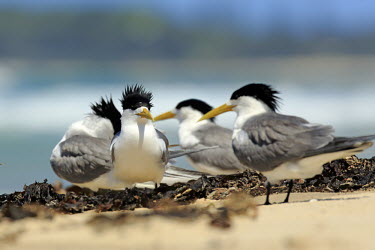 Lesser crested terns on beach Terns,tern,crested tern,funny,aves,bird,birds,Laridae,Charadriiformes,beach,group,Aves,Birds,Ciconiiformes,Herons Ibises Storks and Vultures,Chordates,Chordata,Gulls, Terns,Shorebirds and Terns,Flying