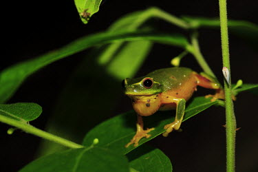 Dainty tree frog tree frog,tree,frogs,amphibians,anura,graceful tree frog,Hylidae,green,colourful,calling,eye,red eye