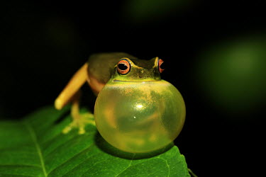 Dainty tree frog calling tree frog,tree,frogs,amphibians,anura,graceful tree frog,Hylidae,green,colourful,calling,eye,red eye,vocalising