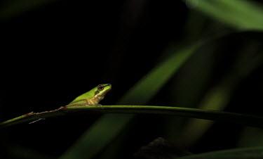 Eastern dwarf tree frog on leaf Eastern sedgefrog,frogs,amphibians,anura,tree frog,tree frogs,green,perching,negative space