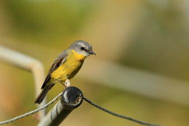 Eastern yellow robin perching Robin,robins,birds,bird,anura,negative space,perching,yellow,colourful,colour,urban