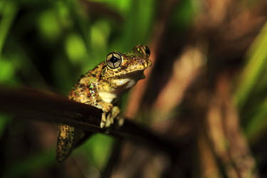 Emerald-spotted tree frog Frogs,frog,amphibian,anura,eyes,weird,beautiful,peron's tree frog,emerald-speckled tree frog,tree frogs,perching,close-up,Hylidae