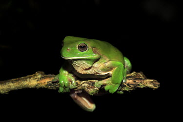 Australian green tree frog perching on branch Hylidae,frogs,frog,amphibian,anura,eyes,close-up,green,colourful,Amphibians,Amphibia,Anura,Frogs and Toads,Hylids,Chordates,Chordata,Terrestrial,Tropical,Animalia,Agricultural,Litoria,Carnivorous,Aust