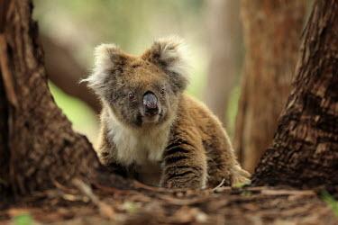 Koala portrait Mammal,mammals,marsupial,marsupials,Diprotodontia,Phascolarctidae,cute,grey,close-up,portrait,Kangaroos, Wallabies,Chordates,Chordata,Mammalia,Mammals,cinereus,Least Concern,Sub-tropical,Herbivorous,A