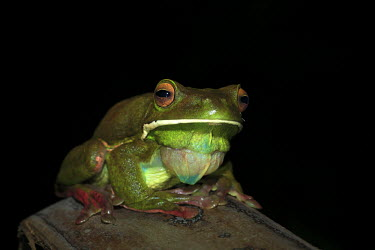 White-lipped tree frog tree frog,tree,frogs,amphibians,anura,Hylidae,green,colourful,calling,eye,eyes,close-up,close up