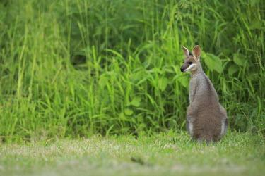Swamp wallaby portrait wallabies,wallaby,marsupials,marsupial,mammals,mammal,Marsupialia,Diprotodontia,Macropodidae,Macropodinae,cute,grass,green,back