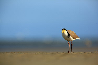 Masked lapwing foragin Birds,bird,aves,masked plover,searching,foraging,Charadriidae,Charadriiformes,negative space,blue