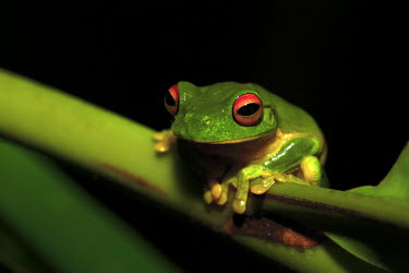 Red-eyed tree frog portrait tree frog,tree,frogs,amphibians,frog,anura,hylid,hylidae,green,red eyes,colourful,eyes