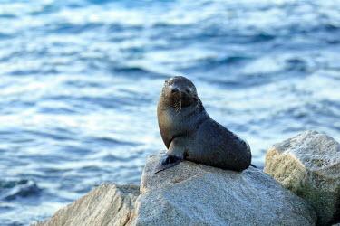 Baby New Zealand fur seal portrait Otariidae,Carnivora,seals,pinnepeds,pinneped,seal,baby,young,cute,coast,Eared Seals,Chordates,Chordata,Mammalia,Mammals,Carnivores,Terrestrial,Arctocephalus,Animalia,Least Concern,Australia,Coral reef