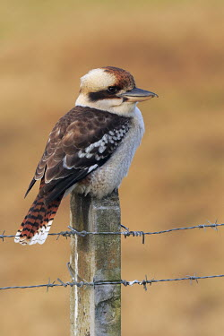 Laughing kookaburra, side profile Alcedinidae,Coraciiformes,birds,bird,aves,patterned,brown,perching,perched,barbed wire,fence,Aves,Birds,Kingfishers,Rollers Kingfishers and Allies,Chordates,Chordata,Carnivorous,IUCN Red List,Terrestr