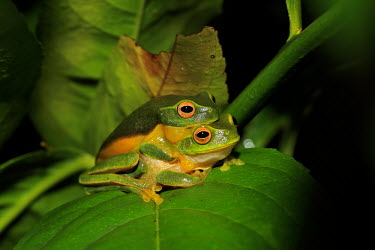 Dainty tree frog pair copulation tree frog,tree,frogs,amphibians,anura,graceful tree frog,Hylidae,green,colourful,mating,mate,pair,reproduction,reproducing,copulating,copulation,sexual reproduction
