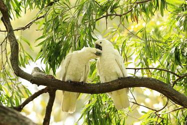 Sulphur-crested cockatoo pair allogrooming Birds,bird,aves,cockatoos,Psittacidae,Psittaciformes,pair,grooming,groom,allogrooming,preening,bonding,Aves,Parrots,Parakeets, Macaws, Parrots,Chordates,Chordata,Animalia,Herbivorous,Cacatua,Agricultu