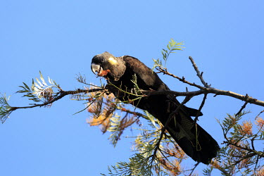 Yellow-tailed black cockaoo feeding from tree Birds,bird,aves,cockatoos,cockatoo,feeding,eating,bill,beak,tropical,tropical bird,Psittaciformes,Cacatuoidea,Cacatuidae,Calyptorhynchinae