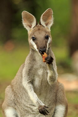 Swamp wallaby eating wallabies,wallaby,marsupials,marsupial,mammals,mammal,Marsupialia,Diprotodontia,Macropodidae,Macropodinae,cute,eating,food,feeding,eat
