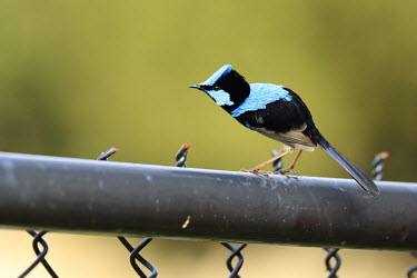 Superb fairywren perched on urban fence Superb blue-wren,blue wren,passerine,birds,bird,aves,Maluridae,Passeriformes,blue,bright blue,patterned,colourful,wrens