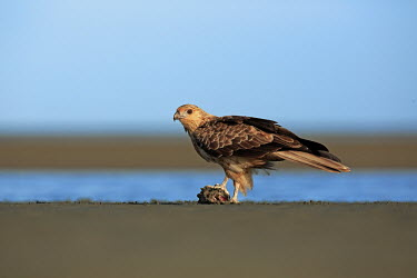 Whistling kite with prey Falconiformes,birds,bird,aves,bird of prey,falcons,kites,birds of prey,predator,prey,hunting,feeding,eating,food,eat,Accipitridae,whistling eagle,whistling hawk,Aves,Birds,Hawks, Eagles, Kites, Harrie