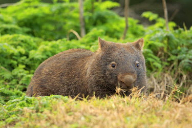 Southern hairy-nosed wombat portrait Wombat,wombats,mammals,mammal,marsupials,marsupial,Vombatidae,Diprotodontia,lying down,Mammalia,Mammals,Chordates,Chordata,Kangaroos, Wallabies,Australia,latifrons,Temperate,Terrestrial,Scrub,Animalia