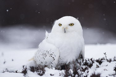 Snowy owl on ground in snow snow,cold,on ground,predator,yellow eyes,camouflage,falling snow,shallow focus,heather,adult,True Owls,Strigidae,Aves,Birds,Owls,Strigiformes,Chordates,Chordata,Snow and ice,Flying,Bubo,Grassland,Wetl