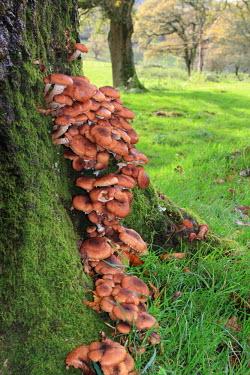 Honey fungus fungus,fungi,mushroom,Basidiomycota,Agaricomycetes,Agaricales,Physalacriaceae,woodland,treestump,meadow