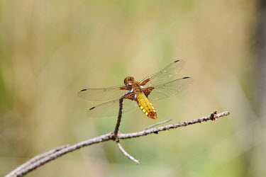 Broad-bodied chaser broad-bodied darter,common,dragonfly,shallow focus,negative space,perched,wings,detail,dragonflies,odonata,macro