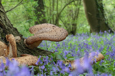 Dryad's saddle basidiomycete,bracket,fungus,dryad's saddle,pheasant's back mushroom,woodland,bluebells,shallow focus,fungi,mushroom