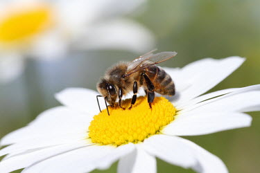 Honey bee shallow focus,white,flower,pollination,pollinate,nectar,daisy,insect,Apidae,Insecta,Hymenoptera,bees,bee,Sawflies, Ants, Wasps, Bees,Insects,Arthropoda,Arthropods,Bumble Bees, Honey Bees, Cuckoo Bees,