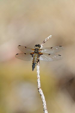 Four-spotted chaser dragonfly,shallow focus,negative space,perched,wings,detail,dragonflies,odonata,Libellulidae,insects,insect,Insects,Insecta,Odonata,Dragonflies and Damselflies,Arthropoda,Arthropods,Skimmers,Carnivoro
