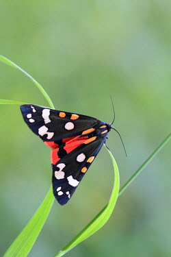 Scarlet tiger moth moth,insect,Lepidoptera,Arctiidae,Arthropoda,shallow focus,negative space,insects,colourful,pattern,patterned,insecta