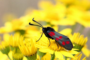 Six-spot burnet moth moth,insect,yellow,flower,shallow focus,colour,colourful,insects,insecta,Insects,Insecta,Leaf Skeletonizer Moths,Zygaenidae,Arthropoda,Arthropods,Lepidoptera,Butterflies, Skippers, Moths,Agricultural,