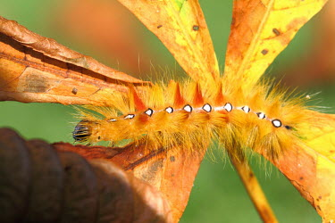 Sycamore moth caterpillar caterpillar,leaf,orange,Noctuidae,insect,Lepidoptera,Arthropoda,insecta,insects,colour,colourful