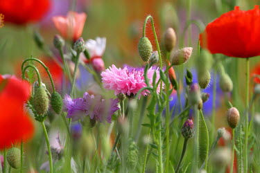 Wild flowers wildflowers,meadow,shallow focus,poppy,bud,colour,spring,wildflower