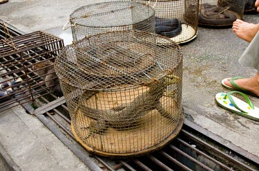 Monitor lizard in cage restaurant,burma,wildlife,chinese,special,myanmar,trade,illicit,bushmeat,illegal,caged,illegal wildlife trade