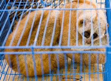 Slow loris chinese tourists have come to eat  in a restaurant in Mong La, Myanmar wildlife,trade,illicit,bushmeat,caged,illegal wildlife trade,illegal restaurant,wildlife trade,cage,loris,slow loris,Loridae