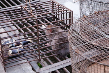 Caged rodent myanmar,illicit,bushmeat,endangered,wildlife trade,m�ngla,caged,illegal wildlife trade,illegal restaurant,cage