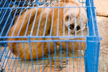 Slow loris in cage at a restaurant in Mong La, Myanmar wildlife,trade,illicit,bushmeat,caged,illegal wildlife trade,illegal restaurant,wildlife trade,cage,loris,slow loris,Loridae