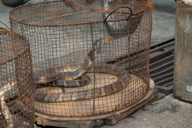 Snake in a cage at a restaurant myanmar,illicit,bushmeat,endangered,wildlife trade,m�ngla,caged,illegal wildlife trade,illegal restaurant,cage,snakes,snake,reptiles,reptile