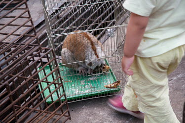 Slow loris in cage at an Illicit Endangered Wildlife restaurant in Mong La, Myanmar wildlife,trade,illicit,bushmeat,caged,illegal wildlife trade,illegal restaurant,wildlife trade,cage,loris,slow loris,Loridae