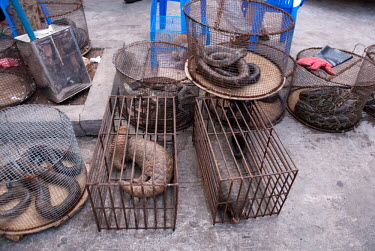 Pangolins,snakes and monitor lizards in cages at an Illicit Endangered Wildlife restaurant wildlife,trade,illicit,bushmeat,caged,illegal,pangolin,scaly anteaters,lizard,snakes,illegal wildlife trade,illegal restaurant,wildlife trade,cage,wildlife market