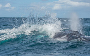 Humpback whale breathing at surface with immense splash breaching,splash,oceans,water,marine,sea,spray,surface,blow hole,whales,cetaceans,cetacean,Wild,Rorquals,Balaenopteridae,Cetacea,Whales, Dolphins, and Porpoises,Chordates,Chordata,Mammalia,Mammals,Sou