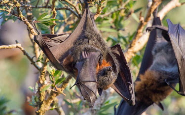 Grey-headed flying fox with pup adult,young,parental care,hanging,mum,pup,wings,protection,endemic,parent,mother,bat,bats,flying foxes,flying fox,grooming,tongue,Wild,Mammalia,Mammals,Pteropodidae,Chordates,Chordata,Chiroptera,Bats,