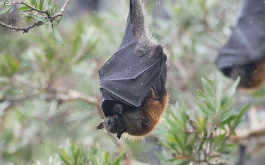 Grey-headed flying fox with pup in the rain adult,young,parental care,hanging,mum,pup,wings,protection,tongue,endemic,rain,shelter,negative space,shallow focus,parent,mother,bat,bats,flying foxes,flying fox,Wild,Mammalia,Mammals,Pteropodidae,Ch