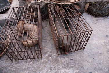 Pangolins in cages at an Illicit Endangered Wildlife restaurant wildlife,trade,illicit,bushmeat,caged,illegal,pangolin,scaly anteaters,lizard,snakes,cage,illegal wildlife trade,illegal restaurant,wildlife trade,wildlife market,undercover