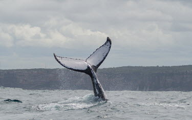 Humpback whale tail fluke tail,fluke,dive,splash,oceans,water,marine,sea,surface,whales,cetaceans,cetacean,Wild,Rorquals,Balaenopteridae,Cetacea,Whales, Dolphins, and Porpoises,Chordates,Chordata,Mammalia,Mammals,South America