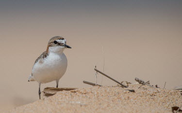Red-capped plover adult,shallow focus,negative space,sand,sandy,beach,bird,birds,aves,plover,Wild,Charadriidae,Lapwings, Plovers,Ciconiiformes,Herons Ibises Storks and Vultures,Aves,Birds,Chordates,Chordata,Charadriifo