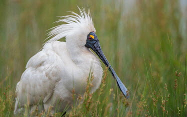 Royal Spoonbill displaying its beautiful breeding plumage on a rainy day. Animalia,Chordata,Aves,Pelecaniformes,Threskiornithidae,adult,shallow focus,negative space,display,rain,looking at camera,striking,bird,birds,strange,weird,unique,bill,beak,Wild