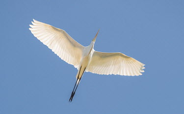 Eastern great egret in flight adult,flight,white,feathers,backlit,wingspan,blue sky,diagonal,streamlined,in flight,flying,wings,underside,aves,birds,bird,sky,Wild