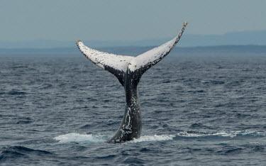 Humpback whale tail fluke tail,fluke,close-up,dive,splash,oceans,water,marine,sea,surface,whales,cetaceans,cetacean,Wild,Rorquals,Balaenopteridae,Cetacea,Whales, Dolphins, and Porpoises,Chordates,Chordata,Mammalia,Mammals,Sout